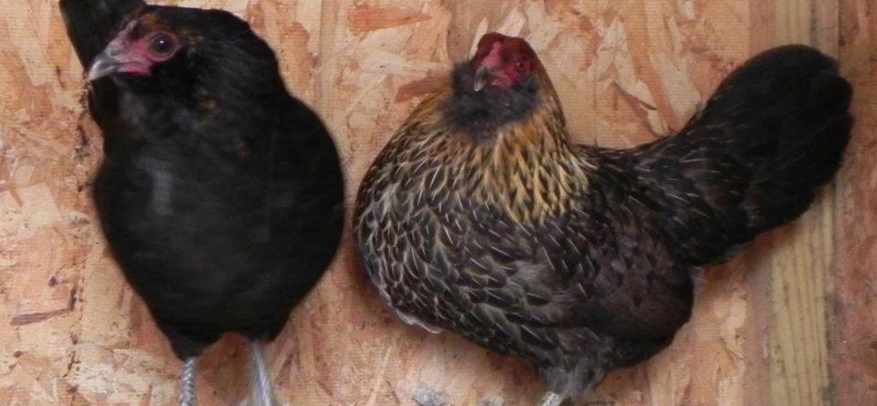 Easter egger bantam chickens - photo#8