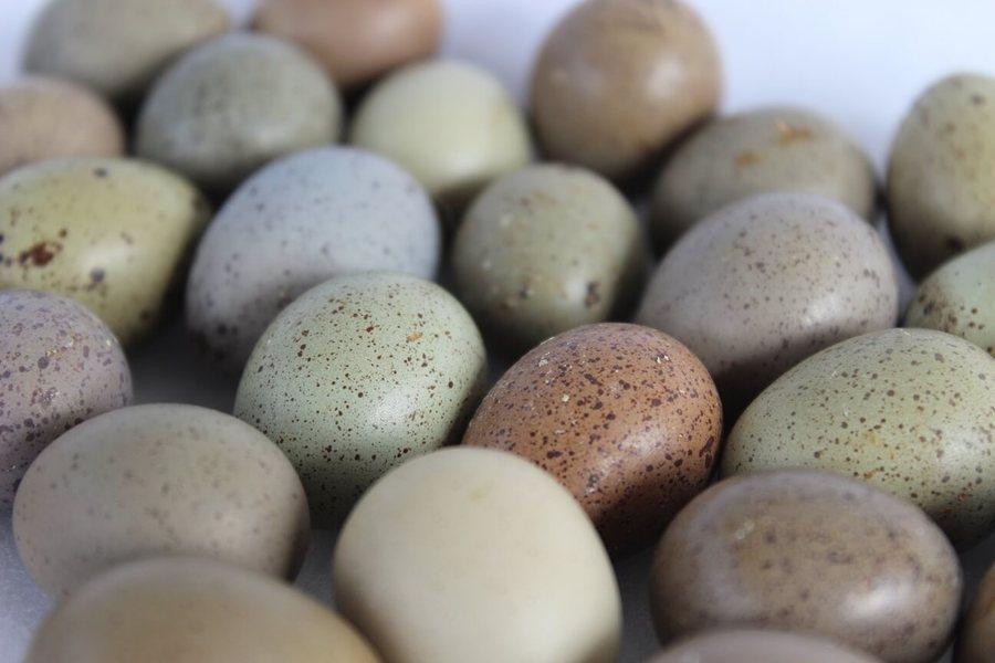 Button quail eggs