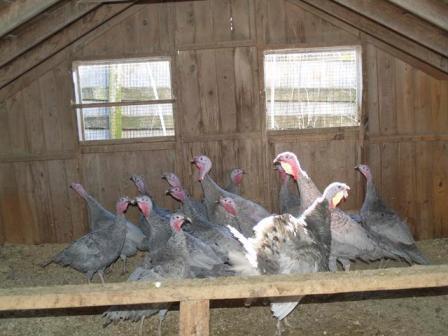 Blue Slate Turkey Poults