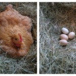 hen and her eggs