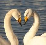 Swan Stories