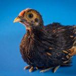 bantam mini chickens