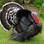 raising turkeys and standard bronze turkeys