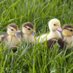 duckling care