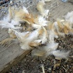 What is Molting? How to Tend to Your Fowl During this Seasonal Process