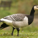 Wild and Ornamental Geese
