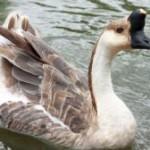 Light Geese