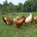 Raising Broilers in an Animal Welfare Approved Way
