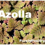Azolla: Supplemental Greens for Waterfowl