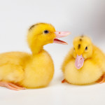 Do Ducks Make Good Pets?