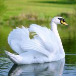 pet swan purely poultry