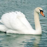 What is the Best Swan Breed for Me?
