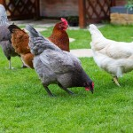 I want Quiet Chickens. What breed should I choose?
