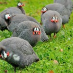 Guineas, More Than Just Tick Control