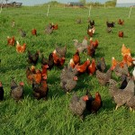 Safe Feeding and Chicken-Proofing your Yard