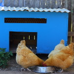 Why do people raise poultry? Poultry is Practical!