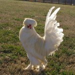 Why do people raise poultry? Heritage Breed Preservation