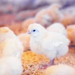 Tips for selling your poultry on Purely Poultry