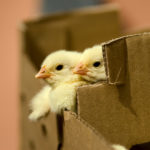 Top Tips for the Best Online Poultry-Buying Experience