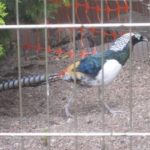 Featured Blog Post: Gail and Her Lady Amherst Pheasants