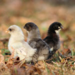 Biosecurity: Integrating New Birds into your Flock