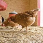 10 Chicken Care Tips to Get Your Flock Winter Ready