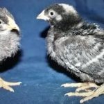 barred rock baby chicks for sale
