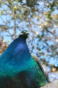 male peacocks for sale
