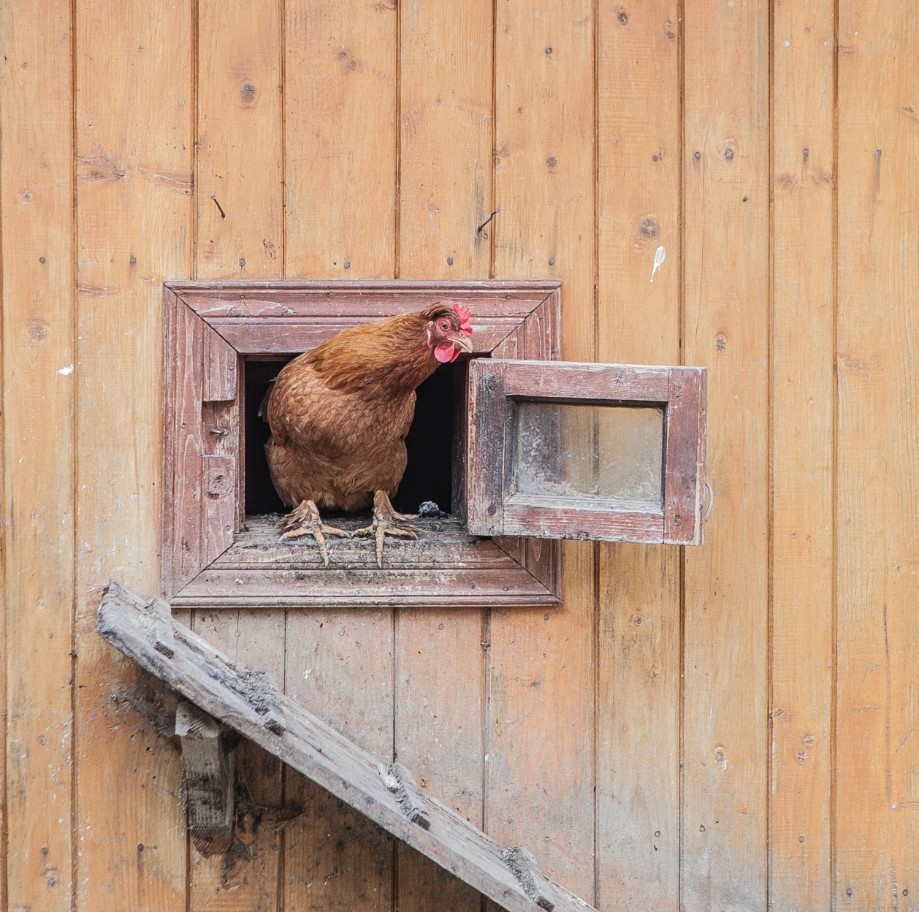 5 Fun Facts About Keeping Chickens Not Found In Books