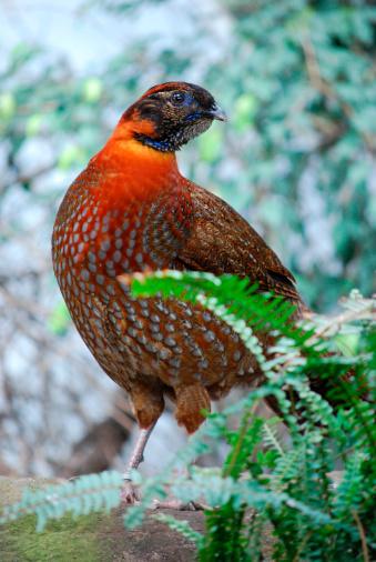 Tragopan Pheasants