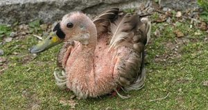 duck molting