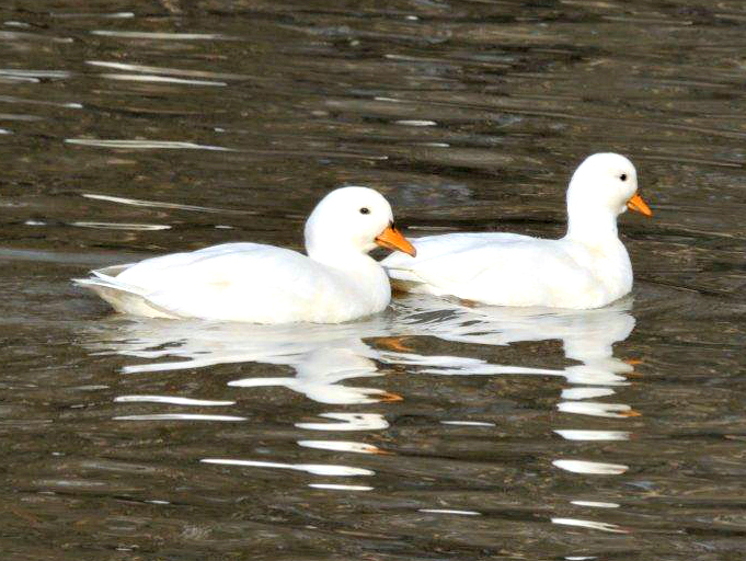 History and Care of Call Ducks | Purely Poultry Blog