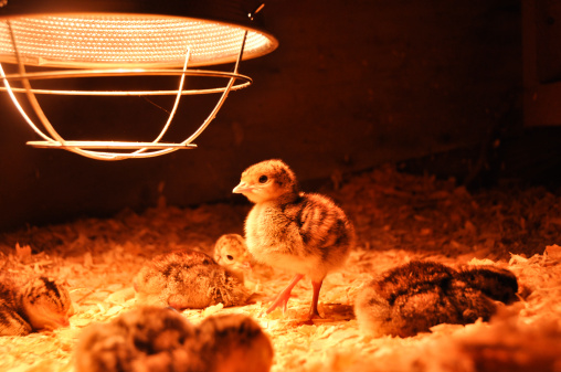 My Chicks Are Weak Cold And Lethargic What Now Purely Poultry Blog
