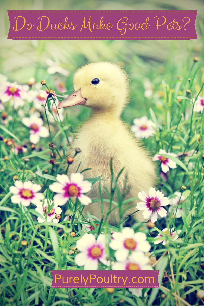do ducks make good pets purely poultry blog
