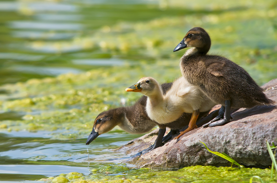 Do Ducks Make Good Pets? | Purely Poultry Blog