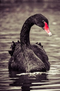 Swimming Two Black Swans