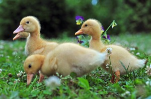 Young ducks