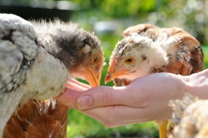 Chickens Eating From Hand