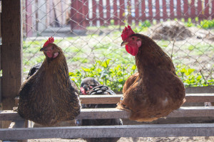 Chicken And Rooster Sitting