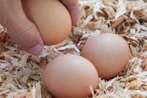 Gathering farm fresh eggs