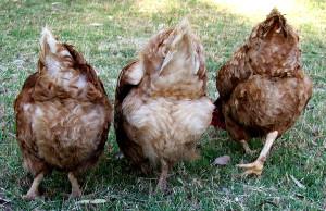 Chicken Rumps