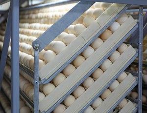 White chicken eggs in incubator on the farm