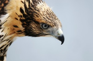 Immature Red Tailed Hawk shown from the shoulders up