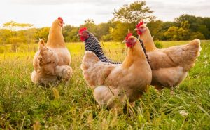 Organic Chicken De-Worming and Prevention | Purely Poultry Blog