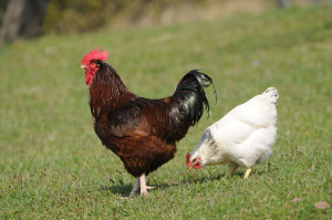Rooster and hen in grass