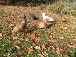 Chickens_Fall6
