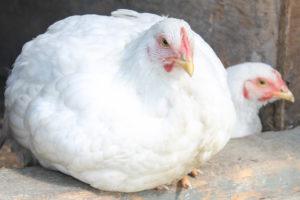 Head of 2 big white chicken