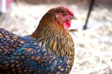 Golden Laced Wyandotte Chickens