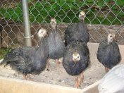 Royal Purple Guinea Keets