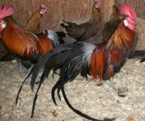 Black Breasted Red Phoenix Chickens